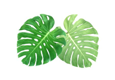 monstera leaves with drop of water isolated on white background with clipping path