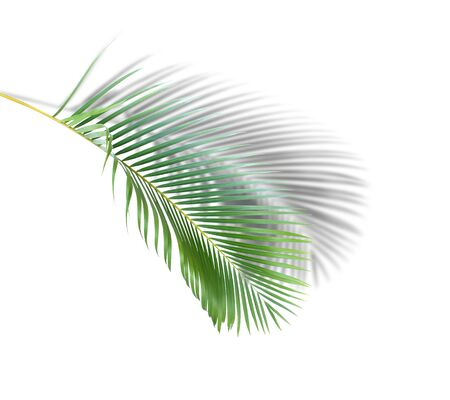 green leaf of palm tree with shadow on white background