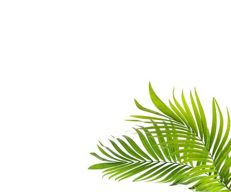 green palm leaf on white background Foto de archivo