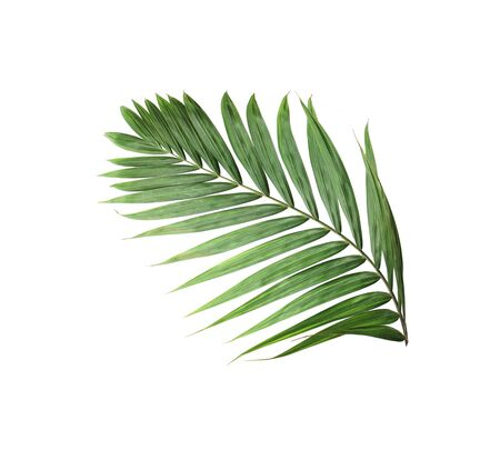 tropical nature green palm leaf isolated pattern background