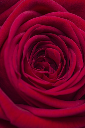 Image of a marriage open beautiful red soft rose. Close up in the studio