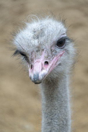 Ostrich bird head and neck front portrait outside