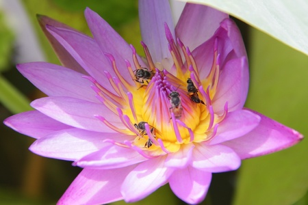 Pink lotus and bees. photo