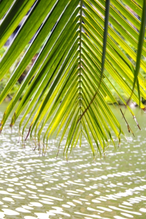 riverside tree: the line of coconut tree leaf at riverside Stock Photo