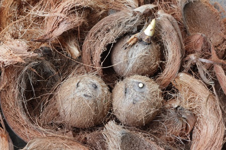 old coconuts beginning a coconut tree