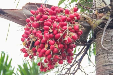 Ripe Betel Nut   Areca Nut Palm on Tree Stock Photo - 16149383