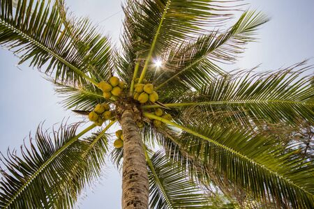 coconut tree with sun light photo