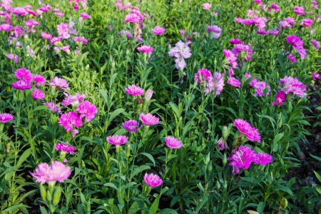 beautiful Pink Carnation in park Stock Photo - 17469140