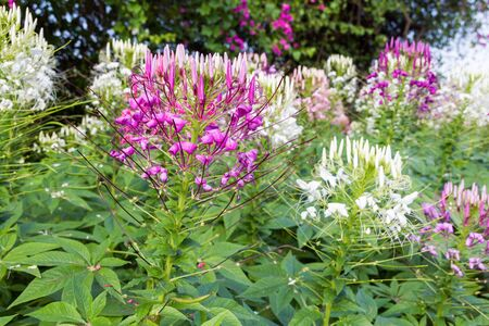 Close up of beautiful Cleome Spinosa  Stock Photo - 17469073