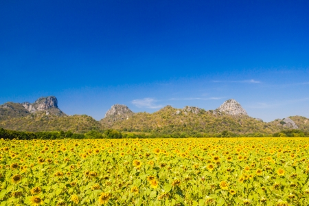 Beautiful sunflowers  meadow with Mountain Background photo