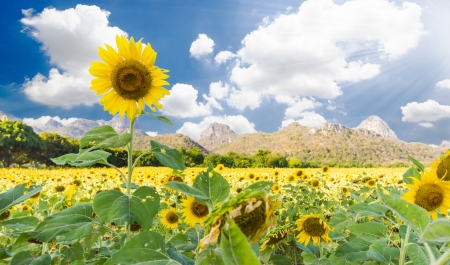Beautiful sunflowers  meadow with Mountain Background
