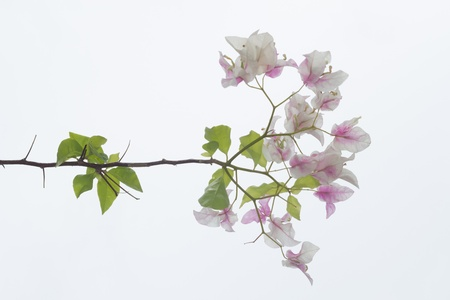 Bougainvillea, Paper flower (Bougainvillea hybrida) on white background photo
