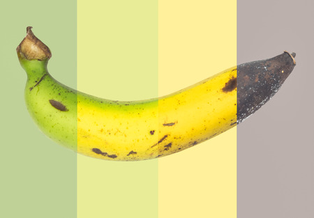 Cycle of fresh banana to rotten banana fruit ,mix picture photo