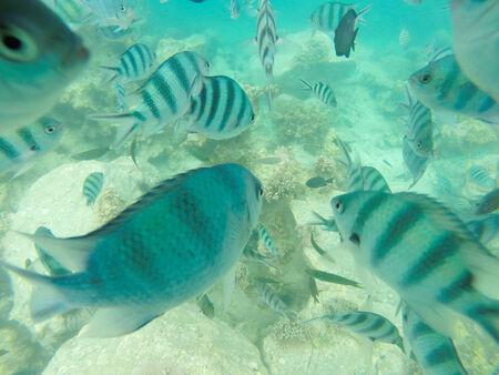 major ocean: Sergeant major damsel - a large, colourful damselfish