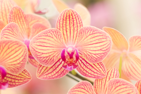 flower petal: Close up of Orchid flowers with blurry background