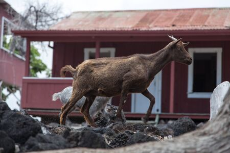 nanny goat: A nanny goat and kid walk by abandoned building