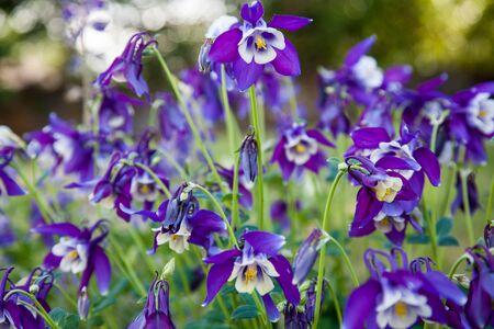 aquilegia: Purple columbine flower in full summer bloom