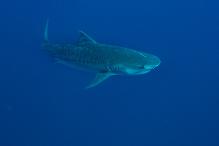 Giant tiger shark swims in the deep blue water Stock Photo - 59845194