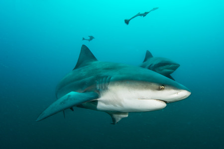 bull shark: Giant bull shark  Zambezi Shark swimming in deep blue water Stock Photo