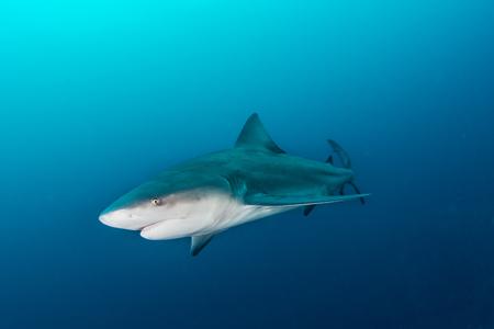 Giant bullshark / Zambezi Shark swimming in deep blue water