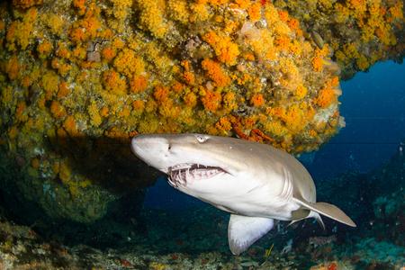 Géant Sandtiger requin nage dans un cav