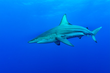 dorsal: Giant Blacktip swimming in deep blue water