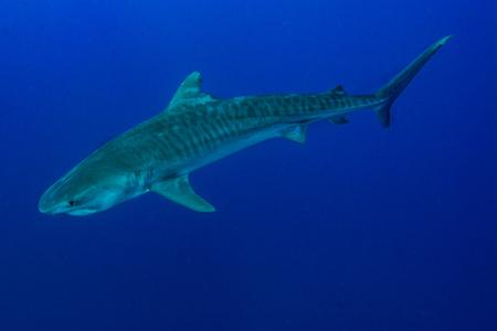 Giant tiger shark swims in the deep blue water Standard-Bild