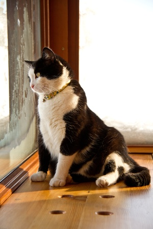 black and white cat looking outside photo