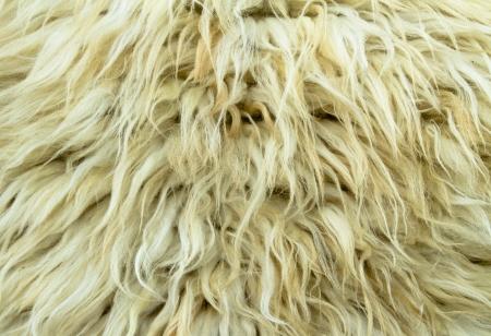 Fur sheep up close