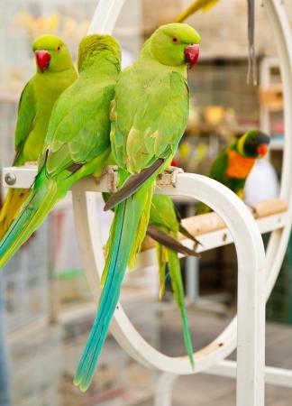 samll: Green parrots at the pet market