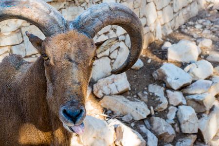 mouflon: Moroccan Mouflon close up portrait