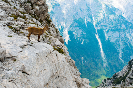 Male Ibex above the cliff in front of Mount Triglav National Park - Julian Alps, Slovenia Stock Photo