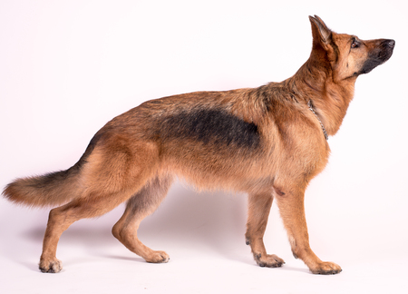 German Shepherd on a white background solid Imagens