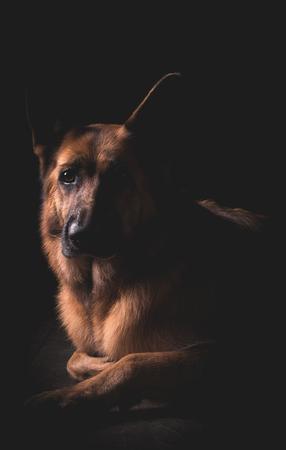 Beautiful German Shepherd dog lying down with black background