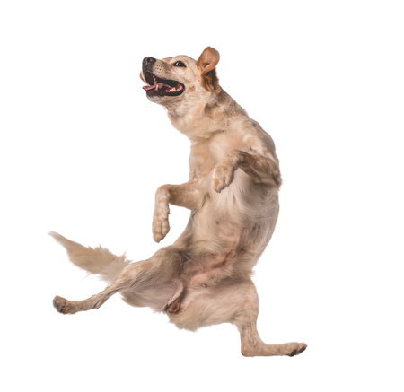 Lovely mutts dog jumping for happiness