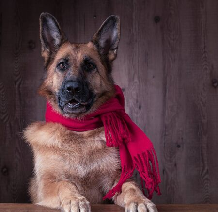 German Shepherd Dog wearing scarf in the cold Stock Photo