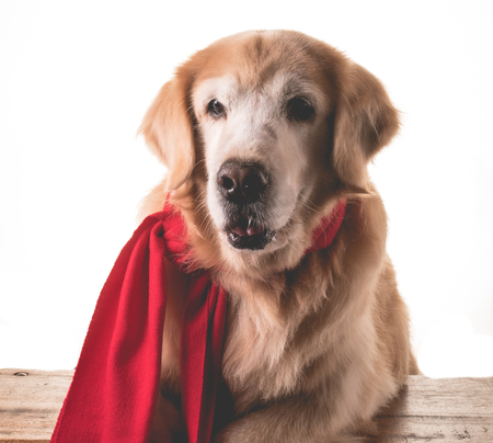 Golden Retriever wearing scarf in the cold