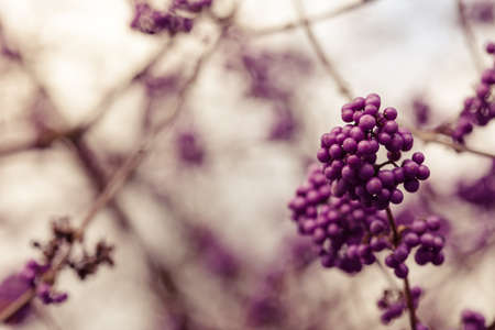 umbel: sweet purple berry umbel on a winter day Stock Photo