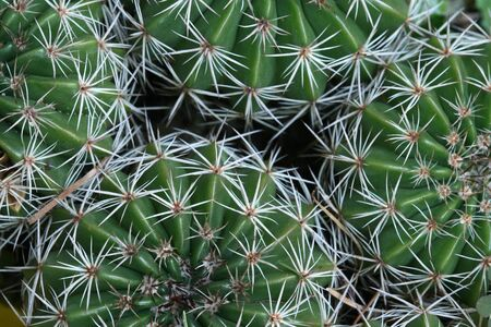 cactus species: Detalle del grupo de cactus. Echinopsis especies