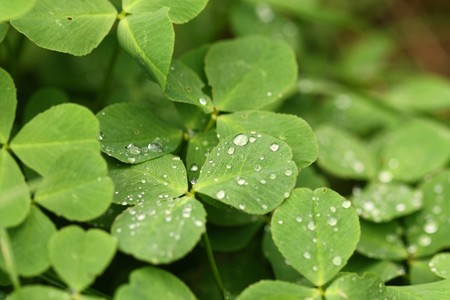 Clover field with water drops - closeup photo