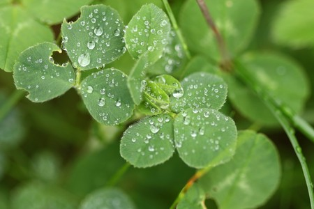 Eaten clover with droplets photo