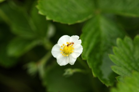 wild strawberry: Red ant eating sweet nectar from wild strawberry flower