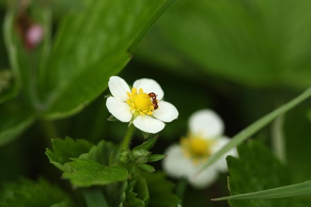 Red ant eating sweet nectar from wild strawberry flower photo