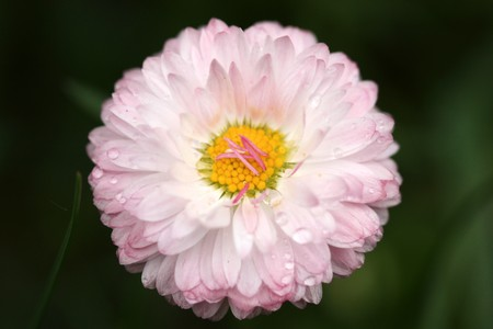 Beautiful daisy flower with pink petals and raindrops photo