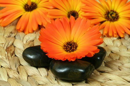 Orange Marigold (Calendula species) flower and three black pebbles photo