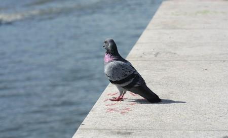 parapet: One gray pigeon sitting on parapet