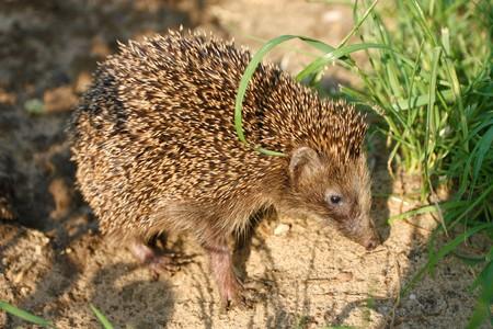 West European Hedgehog walking photo