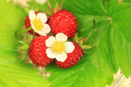 Wild strawberry fruits, leaves and flowers photo