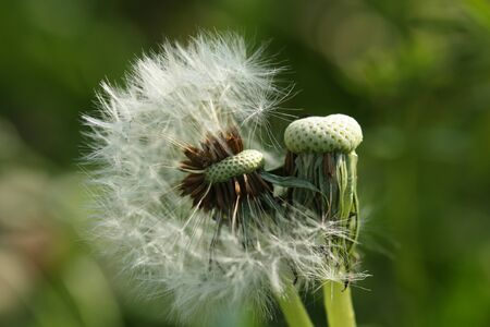 taraxacum: Dandelion (Taraxacum) seeds after blooming Stock Photo