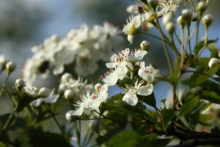 crata�gus: Florecimiento de espino (Crataegus) de arbusto. Primavera hermosas flores